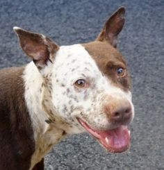 ♡ SAFE ♡  POLKA DOT – A1071279  FEMALE, BROWN / WHITE, AM PIT BULL TER MIX, 4 yrs STRAY – STRAY WAIT, NO HOLD Reason STRAY Intake condition EXAM REQ Intake Date 04/23/2016, From NY 10468, DueOut Date04/26/2016