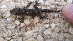 salamandramini