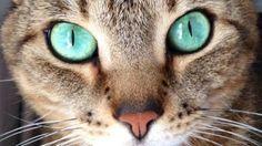Chat aux yeux turquoises