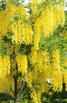 Golden Chain Tree, Laburnum anagyroides - Live Tree - Shipped fully rooted in soil. 24-30 inches tall.  Gorgeous wisteria-like rich yellow pendulous blooms in May or June. Likes well drained moist soils. Yellow fall color. Full sun in the North and part shade in hotter climates. Grows 15-25 foot tall and 10-15 feet wide in USDA zones 5-8.   Grown in soil less mix, we can ship to all states. Ships Priority Mail.  Shipped dormant without leaves in fall and winter and with leaves in spring and…