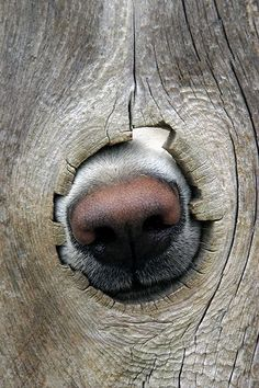The neighbor's dog using a knothole in the fence to take an olfactory reading of the goings-on in our yard. This photo was included in Flickr's Interesting Photos for March 5, 2006.