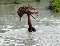 Boy saves fawn during flood in Bangladesh
