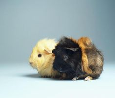 Facts about guinea pigs, what to consider when choosing one, links to tips about caring for one.