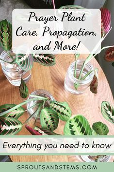 "Learn all about the maranta or ""prayer plant"" in my post on this unique yet easy-to-care-for plant. Why is it called a ""prayer plant"" anyway? Read on and find out!"