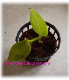 Комнатные растения для души и настроения: Как посадить орхидею ваниль: посадка Vanilla plani...