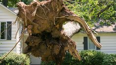 Tree Roots Break and Buckle Foundations. Know What to Do With Trees Growing Too Close to Your House #roots #tree #foundation