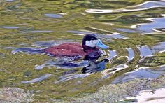 duck on pond (Small)