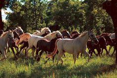 CABALLOS LIPIZZANOS La historia de los caballos lipizzanos se remonta al siglo XV cuando el archiduque Carlos de Habsburgo fundó en la aldea de Lipica una hacienda para criar y adiestrar caballos para la Corte de Viena que fueran más livianos y elegantes para desfiles y actos militares. Para conseguir esta raza cruzaron los caballos kársticos, famosos por su rapidez y fortaleza desde los tiempos romanos, con los caballos andaluces.
