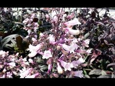 Penstemon Dark Towers is a hardy evergreen perennial plant with purple red leaves and pinkish white flowers in summer and autumn suitable for sun or semi-shade. Red Leaves, Early Spring, Summer Garden, Amazing Gardens, Garden Plants, Evergreen, White Flowers, Habitats, Perennials