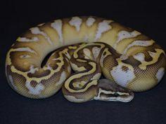Butter Pastel Calico - Morph List - World of Ball Pythons