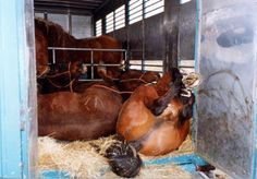 Horses travel up to 4 days to be slaughtered for food.  Temperatures in trailer make it up to 100F.Say hello to hormone replacements origin..