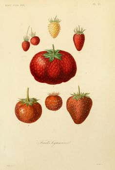 Strawberries. Plate from 'Jardin Potager' by F. Herincq and Frederic Gerard. Published 1870 by L. Guérin. The LuEsther T Mertz Library, the New York Botanical Gardenarchive.org