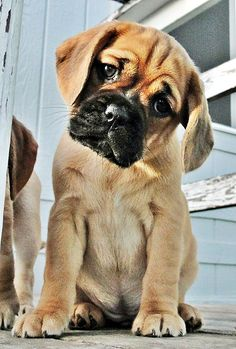 Top 5 Most Beautiful Dog Breeds - b u l l y - Puppies Cute Puppies, Cute Dogs, Dogs And Puppies, Puggle Puppies, Doggies, Baby Animals, Funny Animals, Cute Animals, Pretty Animals