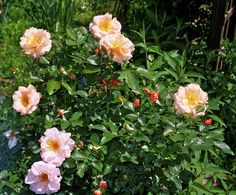 A rose shrub I planted years ago.  Unfortunately this gorgeous plant passed away!