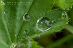 After rainy night - dewdrop on Alchemilla.  #macrophotography