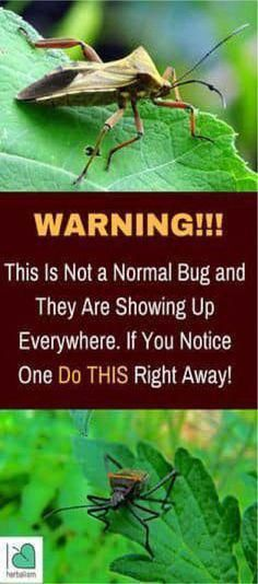 According to the Centers for Disease Control and Prevention, a deadly bug has been reported in southern regions of the United States. You should be extremely careful. Even though the bug looks harmles Natural Health Tips, Natural Healing, Natural Skin, Natural Life, Natural Medicine, Herbal Medicine, Health And Nutrition, Health And Wellness, Health Care