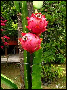 Dragon Fruit ~ I did not know Dragon Fruit grow from Cacti Unusual Plants, Exotic Plants, Cool Plants, Fruit Plants, Fruit Garden, Cactus Plants, Fruit Trees, Dragon Fruit Cactus, Cactus Flower