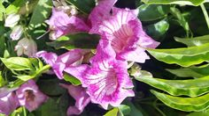 Bignonia Ricasoliana.