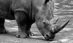 Rinoceronti  (46)