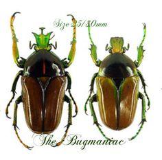 Cetonidae : Neptunides polychrous polychrous PAIR (Green-Brown)