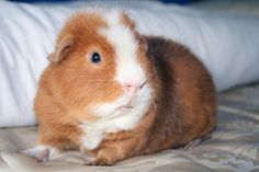 The Guinea Pig Daily