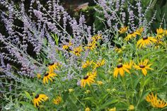 Russian sage and black eyed Susan, the perfect pairing!