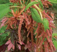 Amaranthus caudatus 'Coral Fountain' 1 flower