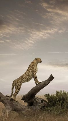 """Nico Silvester on LinkedIn: """"The most fastest Animal in the Word Cheater I love this guy so much…"""" Great Cheetah Nature Animals, Animals And Pets, Funny Animals, Cute Animals, Wildlife Nature, Wild Animals, Baby Animals, Beautiful Cats, Animals Beautiful"""