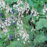 Foamflower  Tiarella spp.  Light:Part Sun,ShadePlant Height:4-24 inches tall, depending on varietyZones:3-9Plant Type:Perennial  Foamflower is a plant for all seasons. In spring, the charming flowers light up even places under pines in dry shade. Its...read more >  Plant with : Phlox, Japanese painted fern, Solomon's seal, Virginia bluebells