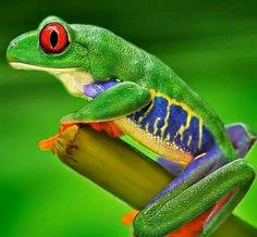 Monkey Frog - Agallychnis callidryas by Jorge Fardels Green Tree Frog, Red Eyed Tree Frog, Large Animals, Baby Animals, Cute Animals, Frosch Illustration, Amazing Frog, Awesome, Cute Frogs
