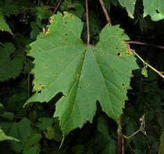 Riverbank Grape Vine description.  So I can find these for lactofermenting.