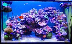 Saltwater Aquarium Fish - Find incredible deals on Saltwater Aquarium Fish and Saltwater Aquarium Fish accessories. Let us show you how to save money on Saltwater Aquarium Fish NOW! Saltwater Aquarium Setup, Coral Reef Aquarium, Saltwater Fish Tanks, Marine Aquarium, Aquarium Design, Aquarium Ideas, Fish Tank Terrarium, Aquarium Terrarium, Marine Fish Tanks