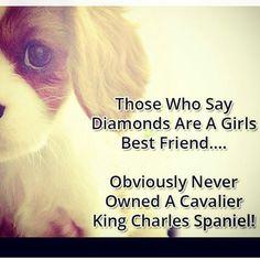 Instagram media jessicaoriley1 - #cavalierkingcharlesspaniel #ckcs #spaniel