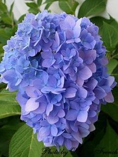 If you struggle to get your hydrangeas to bloom, follow these tips for beautiful blossoms.  --Photo Credit: Donna French