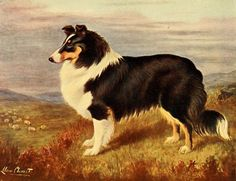 The New Book of the Dog 1911 - Lilian Cheviot (1884-1932), Collie. #vintage, #animals, #canis lupus familiaris