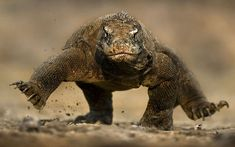 Wildlife photographer Brian Matthews's photo of a fearsome Komodo dragon seeming to balance on two feet (i.e., trotting gait).