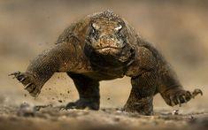 Wildlife photographer Brian Matthews's photo of a fearsome Komodo dragon seeming to balance on two feet (i.e., trotting gait).