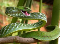 Ahaetulla threat - Ahaetulla nasuta - Green vine snake