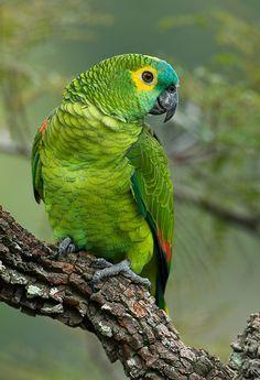 Photo Blue-fronted Parrot (Amazona aestiva) by OctavioSalles | Wiki Aves - The Encyclopedia of Brazilian Birds