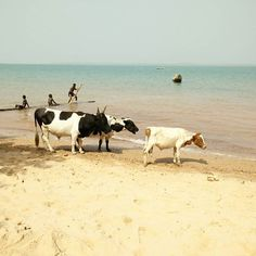 Cows are chilling too on the beach of Guinea Bissau, West Africa, Cows, Chilling, Islands, Explore, Photo And Video, Beach, Animals