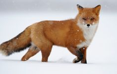 Red fox  #animal #photography