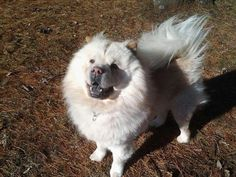 Meet MEO, a Petfinder adoptable Chow Chow Dog   Dix Hills, NY   Stunning Meo is up for adoption with PALNY! He is 3.5yrs old. Good with cats and most calm,...