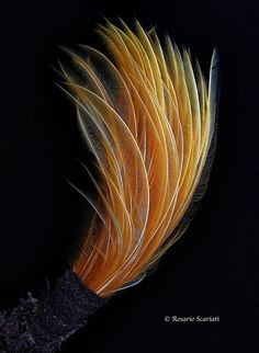 Feather worm