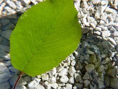 Ako listy dýchajú – pokus Plant Leaves, Plants, Plant, Planets