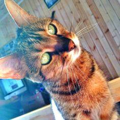 Il gatto dagli occhi verdi