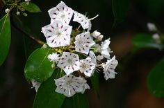 State Flowers Photo Gallery: Pennsylvania State Flower - Mountain Laurel