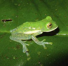 Lange unbekannt: Dieser Glasfrosch aus Kolumbien gehört zur Art Nymphargus, von...