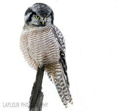 Northern Hawk Owl Nov 28, 2016 Quebec, Canada