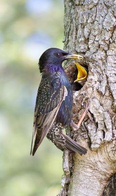 Il nido dello Storno (Starling) by mark miglius on 500px
