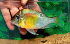 Heiko Bleher describes a new species of cichlid he discovered in the Rio  Jari river system in Brazil.  Origin: Upper reaches of the Rio Jari, part of the Rio Purus basin, but  some considerable distance from the river itself.  Water: pH 6.51, 27.7°C/81.9°F, slightly cloudy almost still.  Ha Freshwater Aquarium Fish, Tropical Aquarium, Small Fish, African Cichlids, Beautiful Fish, Aquariums, Fish Tank, Oceans, Fresh Water